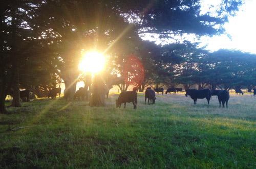 Cypress shelterbelt on farm